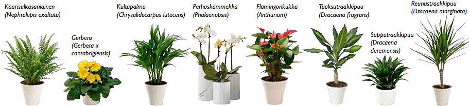 On todettu, että kasvit vapauttavat kasvikemikaaleja, jotka pystyvät hävittämään homeitiöitä ja bakteereita: useita kasveja sisältävässä huoneessa on 50–60 % vähemmän ilmassa liikkuvia itiöitä ja bakteereja kuin huoneessa, jossa kasveja ei ole. (Klikkaa kuvaa suuremmaksi)Lähteet: B. C. Wolverton: Raikas vihreä koti ja Työterveyslaitos