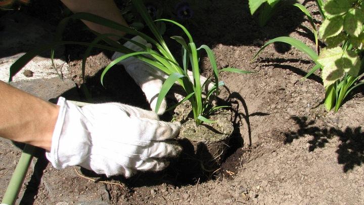 Puutarhakasvien istuttaminen