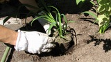 Kasvien istuttaminen