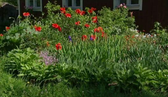 Perennat eli monivuotiset kukat muodostavat puutarhan perustan. Niiden kukintaan voi aina luottaa vuodesta toiseen. Nekin vaativat kuitenkin hoitoa, l
